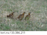 Купить «Grey partridges (Perdix perdix), Breton Marsh, Vendee, France, August.», фото № 33386211, снято 4 апреля 2020 г. (c) Nature Picture Library / Фотобанк Лори
