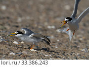 Little tern (Sterna albifrons) pair after mating, Denbighshire, Wales, UK. Стоковое фото, фотограф David  Woodfall / Nature Picture Library / Фотобанк Лори