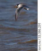 Little tern (Sterna albifrons) hovering, Denbighshire, Wales, UK. Стоковое фото, фотограф David  Woodfall / Nature Picture Library / Фотобанк Лори