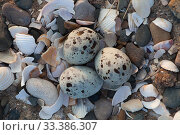 Little tern (Sterna albifrons) three eggs in nest scrape, Gronant, North Wales, June. Редакционное фото, фотограф David  Woodfall / Nature Picture Library / Фотобанк Лори