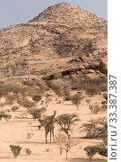 Namibian giraffe, (Giraffa camelopardalis angolensis), Erongo Mountain Conservancy, Namibia. Стоковое фото, фотограф Rhonda Klevansky / Nature Picture Library / Фотобанк Лори