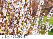 Купить «Blooming white bush in a spring park.», фото № 33396471, снято 13 марта 2020 г. (c) Елена Блохина / Фотобанк Лори
