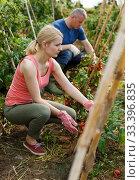 Man and woman gardeners in gloves picking tomatoes. Стоковое фото, фотограф Яков Филимонов / Фотобанк Лори