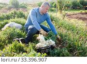 Professional horticulturist picking harvest of green onion to crate in garden. Стоковое фото, фотограф Яков Филимонов / Фотобанк Лори