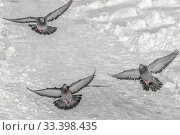 Купить «Three gray pigeons with rainbow neck and bright eyes and light wings are flying in the park in winter», фото № 33398435, снято 13 июля 2020 г. (c) Татьяна Куклина / Фотобанк Лори