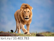 Купить «Lion (Panthera leo) male walking. Masai Mara National Reserve, Kenya.», фото № 33403783, снято 29 марта 2020 г. (c) Nature Picture Library / Фотобанк Лори