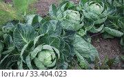 Купить «Image of harvest of cabbage in field in garden outdoor, no people», видеоролик № 33404023, снято 12 февраля 2020 г. (c) Яков Филимонов / Фотобанк Лори
