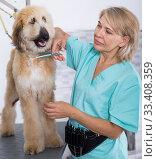 Купить «woman hairdresser cuts Afghan puppy Shepherd in beauty salon for animals», фото № 33408359, снято 17 октября 2017 г. (c) Татьяна Яцевич / Фотобанк Лори