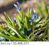 Пролеска сибирская (лат. Scilla siberica). Первые весенние цветы. Солнечный день. Стоковое фото, фотограф E. O. / Фотобанк Лори