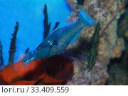 Купить «Лазоревый клюворыл (gomphosus caeruleus). Морская тропическая рыба», фото № 33409559, снято 19 марта 2020 г. (c) Татьяна Белова / Фотобанк Лори
