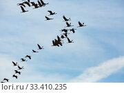 Купить «Flock of cranes flying in sky», фото № 33410235, снято 1 июня 2020 г. (c) Яков Филимонов / Фотобанк Лори