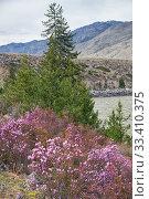 Купить «Rhododendron dauricum bushes with flowers (popular names bagulnik, maralnik) with altai river Katun and mountains on background.», фото № 33410375, снято 29 апреля 2019 г. (c) Serg Zastavkin / Фотобанк Лори