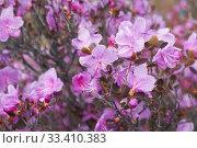 Купить «Closeup shot of Rhododendron dauricum flowers (popular names bagulnik; maralnik).», фото № 33410383, снято 29 апреля 2019 г. (c) Serg Zastavkin / Фотобанк Лори