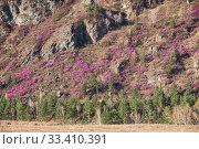 Купить «Mountain slopes covered by Rhododendron dauricum bushes with flowers (popular names bagulnik, maralnik).», фото № 33410391, снято 30 апреля 2019 г. (c) Serg Zastavkin / Фотобанк Лори