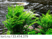 Купить «A forest tranquil Volchya River in a mixed forest in the summer on the territory of the reserve. Leningrad Region, Russia. dense thicket of fern on the shore.», фото № 33414379, снято 2 апреля 2020 г. (c) easy Fotostock / Фотобанк Лори