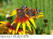 Купить «Бабочка Адмирал (лат. Vanessa atalanta) на цветке рудбекии», фото № 33421979, снято 23 августа 2018 г. (c) Елена Коромыслова / Фотобанк Лори