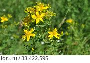 Зверобой обыкновенный, или продырявленный (лат. Hypericum perforatum) Стоковое фото, фотограф lana1501 / Фотобанк Лори