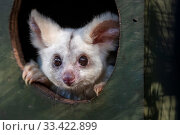 Portrait of a female Greater glider (Petauroides volans) 'Grevillea' peering out of nest box, Captive animal reared from baby, this glider... Стоковое фото, фотограф Doug Gimesy / Nature Picture Library / Фотобанк Лори