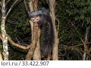 Купить «Aye-aye (Daubentonia madagascariensis) adult active and foraging in forest canopy at night. Deciduous forests, Daraina, northern Madagascar. Endangered endemic species.», фото № 33422907, снято 30 мая 2020 г. (c) Nature Picture Library / Фотобанк Лори