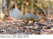 Купить «Boky-boky / Narrow-striped mongoose (Mungotictis decemlineata) foraging in leaf litter. Dry deciduous forest, Kirindy, western Madagascar.», фото № 33422915, снято 30 мая 2020 г. (c) Nature Picture Library / Фотобанк Лори
