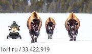 American bison (Bison bison) female walking on the snow covered road with snow mobile to the rear. Firehole Valley, Lower Geyser Basin, Yellowstone, USA. January. Стоковое фото, фотограф Nick Garbutt / Nature Picture Library / Фотобанк Лори
