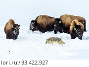 Купить «Coyote (Canis latrans) foraging in deep winter snow disturbed by grazing American bison (Bison bison) Hayden Valley, Yellowstone National Park, Wyoming, USA. January.», фото № 33422927, снято 30 мая 2020 г. (c) Nature Picture Library / Фотобанк Лори