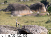 Klipspringer (Oreotragus oreotragus) standing on a kopje. Northern Serengeti, Serengeti National Park, Tanzania (early September) Стоковое фото, фотограф Nick Garbutt / Nature Picture Library / Фотобанк Лори