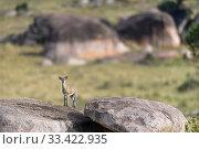 Купить «Klipspringer (Oreotragus oreotragus) standing on a kopje. Northern Serengeti, Serengeti National Park, Tanzania (early September)», фото № 33422935, снято 30 мая 2020 г. (c) Nature Picture Library / Фотобанк Лори