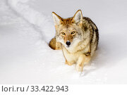 Coyote (Canis latrans) walking through deep winter snow. Yellowstone... Стоковое фото, фотограф Nick Garbutt / Nature Picture Library / Фотобанк Лори