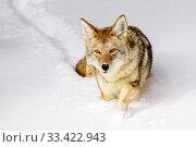 Купить «Coyote (Canis latrans) walking through deep winter snow. Yellowstone National Park, Wyoming, USA. January.», фото № 33422943, снято 30 мая 2020 г. (c) Nature Picture Library / Фотобанк Лори