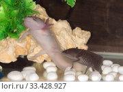 Купить «Axolotls in an aquarium», фото № 33428927, снято 11 марта 2014 г. (c) Argument / Фотобанк Лори