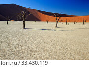 Deadvlei with dead Camel thorn trees (Vachellia erioloba), Namib-Naukluft National Park, Namib Desert, Namibia. Стоковое фото, фотограф David Allemand / Nature Picture Library / Фотобанк Лори