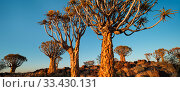 Quiver trees (Aloe dichotoma) at sunrise, Namib Desert, Namibia. Стоковое фото, фотограф Jack Dykinga / Nature Picture Library / Фотобанк Лори