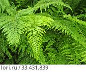 Купить «Листья папоротника орляка обыкновенного (Pteridium aquilinum (L.) Kuhn)», фото № 33431839, снято 19 июля 2010 г. (c) Ирина Борсученко / Фотобанк Лори