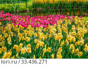 Купить «Flowerbed of narcissus and tulips in the park», фото № 33436271, снято 5 июня 2020 г. (c) easy Fotostock / Фотобанк Лори