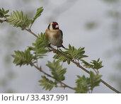 Купить «Goldfinch (Carduelis carduelis). Botkyrka, Stockholm.», фото № 33437991, снято 5 мая 2019 г. (c) age Fotostock / Фотобанк Лори