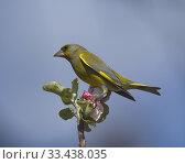 Купить «European greenfinch (Carduelis chloris). Stockholm, Sweden.», фото № 33438035, снято 14 мая 2019 г. (c) age Fotostock / Фотобанк Лори