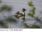 Купить «Goosander (Mergus merganser) with chicks. Malaren, Sodermanland, Sweden.», фото № 33438047, снято 23 мая 2019 г. (c) age Fotostock / Фотобанк Лори