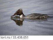 Купить «Goosander (Mergus merganser). Malaren, Sodermanland, Sweden.», фото № 33438051, снято 23 мая 2019 г. (c) age Fotostock / Фотобанк Лори