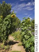 Купить «Brown dirt path bordered by Helianthus annuus - Sunflowers in backyard garden in summer, Jardin du Grand Portage garden, Saint-Didace, Lanaudiere, Quebec...», фото № 33438187, снято 19 августа 2012 г. (c) age Fotostock / Фотобанк Лори