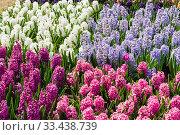 Купить «Красивые разноцветные  гиацинты под ярким весенним солнцем. Аптекарский Огород (филиал ботанического сада МГУ). Москва», фото № 33438739, снято 6 мая 2019 г. (c) Сергей Рыбин / Фотобанк Лори