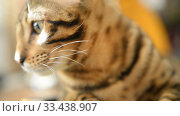 Купить «Bengal kitten calm home at home closeup», видеоролик № 33438907, снято 26 марта 2020 г. (c) Mikhail Erguine / Фотобанк Лори