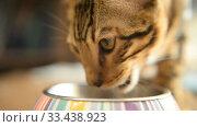 Купить «Bengal kitten calm home at home closeup», видеоролик № 33438923, снято 26 марта 2020 г. (c) Mikhail Erguine / Фотобанк Лори