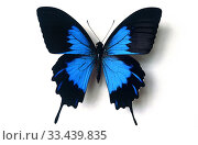 Ulysses butterfly or blue emperor (Papilio ulysses telegonus) is a butterfly native to Indonesia. Adult, dorsal side. Стоковое фото, фотограф J M Barres / age Fotostock / Фотобанк Лори