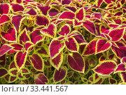 Купить «Burgundy and yellowish Solenostemon - Coleus plants being grown organically in containers inside a greenhouse.», фото № 33441567, снято 30 мая 2018 г. (c) age Fotostock / Фотобанк Лори