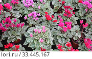 Купить «Blooming cyclamen with pink and red flowers growing in pots in greenhouse», видеоролик № 33445167, снято 8 ноября 2019 г. (c) Яков Филимонов / Фотобанк Лори