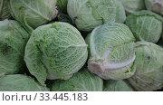 Купить «Closeup of fresh savoy cabbages. Vegetable background. Vegetarian food concept», видеоролик № 33445183, снято 20 ноября 2019 г. (c) Яков Филимонов / Фотобанк Лори