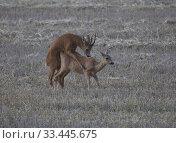 Купить «Roe deer mating, Botkyrka, Sodermanland, Sweden.», фото № 33445675, снято 12 августа 2019 г. (c) age Fotostock / Фотобанк Лори