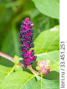 Купить «Perennial herb Lakonos American with purple-black berries. Close-up.», фото № 33451251, снято 17 августа 2019 г. (c) Акиньшин Владимир / Фотобанк Лори