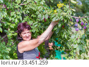 A beautiful mature woman harvests plums on a sunny summer day. Стоковое фото, фотограф Акиньшин Владимир / Фотобанк Лори